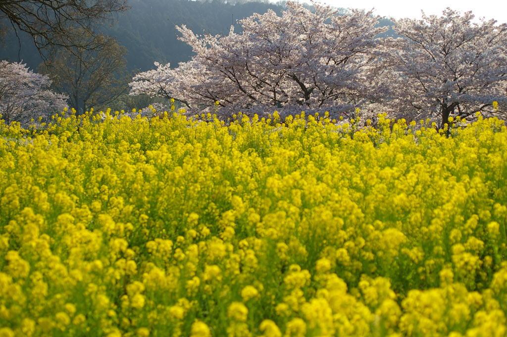 奈良明日香村の菜の花と桜