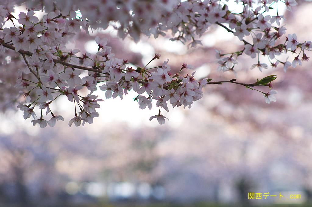 万博記念公園でお花見デート