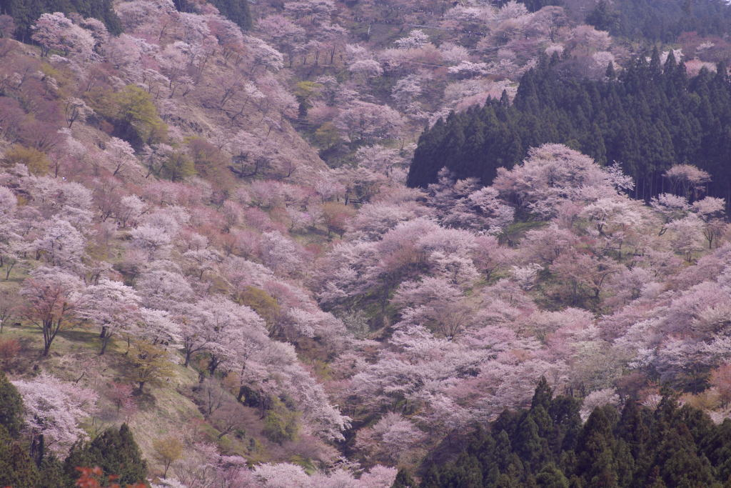 ひと目千本、吉野の桜